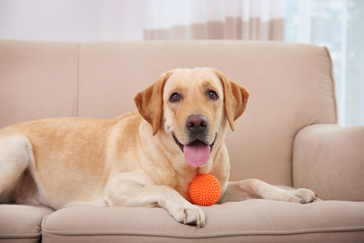 Cute Labrador Retriever playing with ball at home