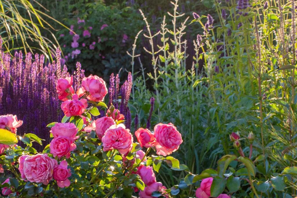 rosor och pioner utomhus