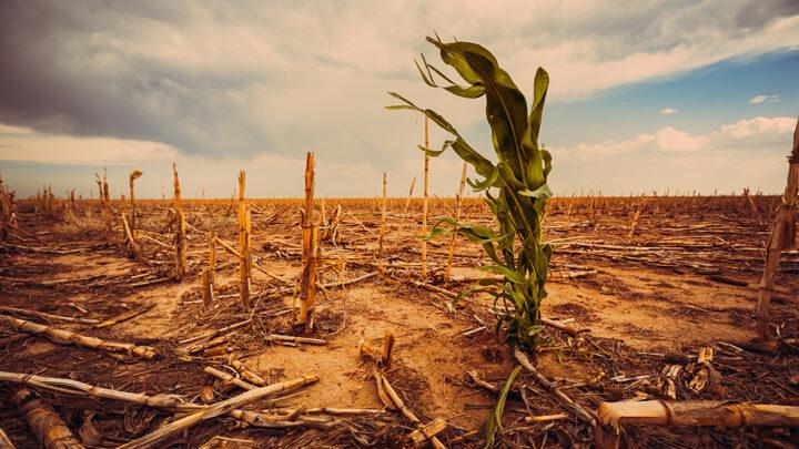 Extrem torka i ett majsfält under en varm sol.